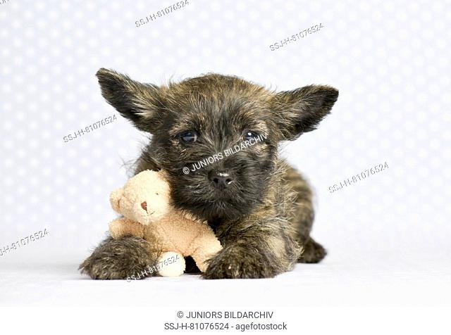 Cairn-Terrier. Puppy (6 weeks old) with little Teddy bear. Studio picture. Germany