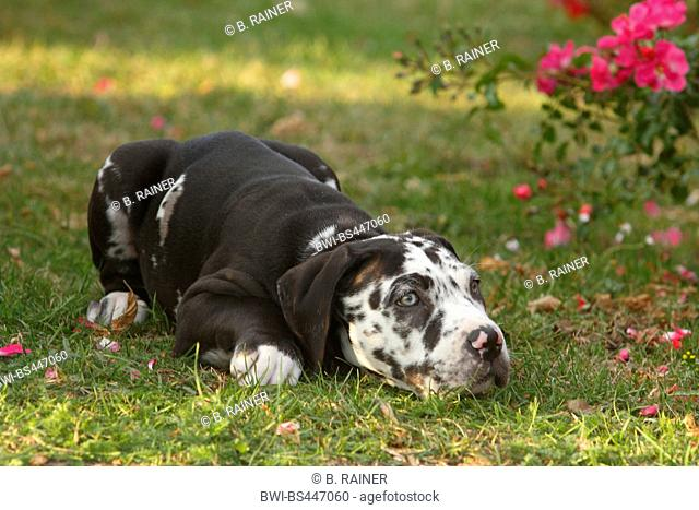 mixed breed dog (Canis lupus f. familiaris), ten weaks old Great Dane Perro de Presa Canario mixed breed whelp lying in a meadow beside dog roses, Germany