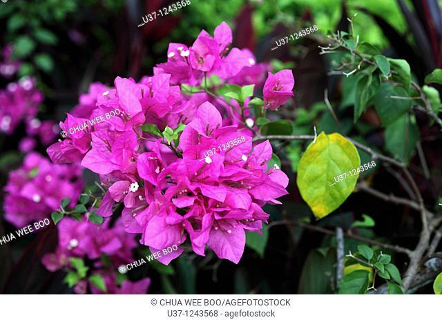Flowers & leaves taken at MBKS Garden in Kuching, Sarawak, Malaysia