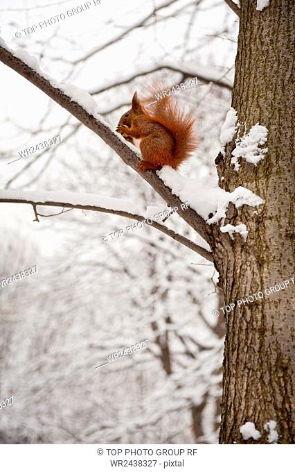 Squirrel sitting on twig in snow and eating walnut, hungry animals in Baths Royal Park in Warsaw. Snowy weather in Warsaw park, Polish Lazienki Krolewskie