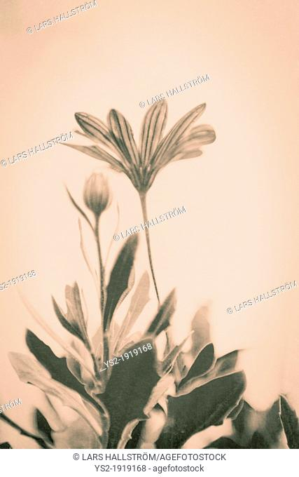 Low angle view of fresh flowers in vintage sepia style