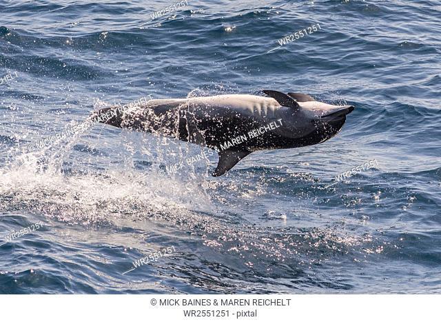 Clymene dolphin (Stenella clymene) spinning, caught belly uppermost, Senegal, West Africa, Africa