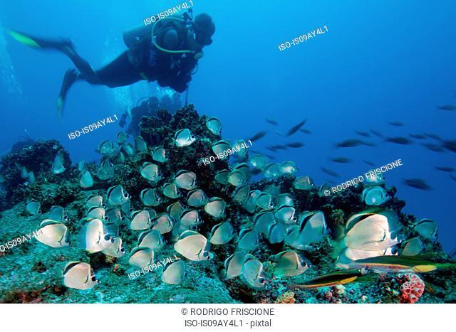 Scuba diver observes large school of barber fish, Socorro island, colima, mexico
