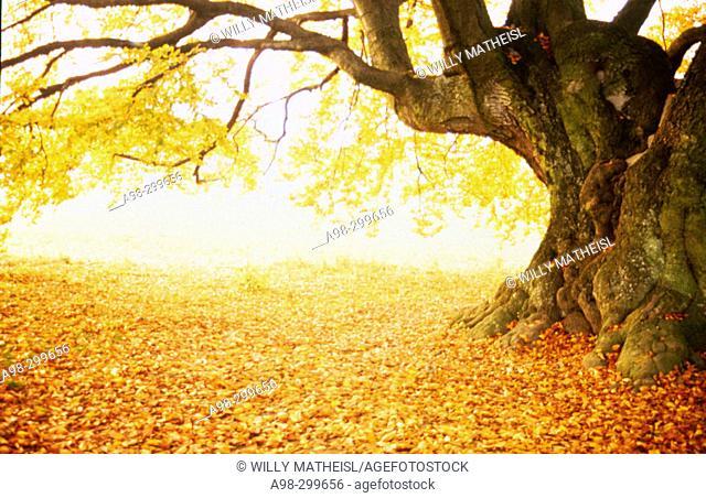Beech tree, fall colours. Bavaria. Germany