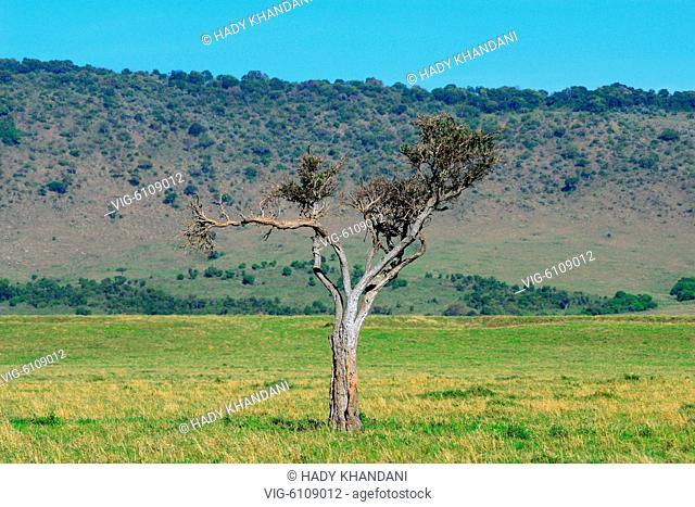 BONEY TREE - MASAI MARA - KENYA - 13/10/2016