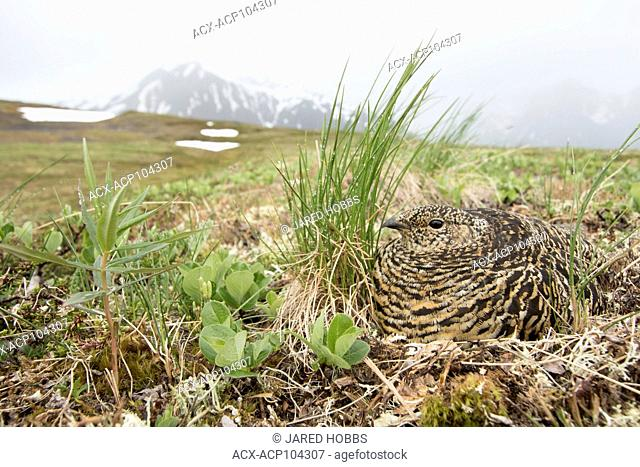 Rock Ptarmigan, Lagopus muta, sitting on it's nest Tundra, Alaska, USA