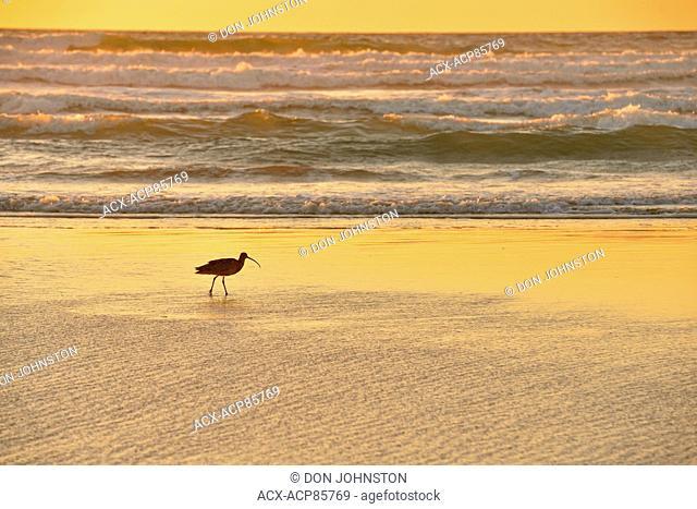 Long-billed curlew (Numenius americanus) foraging at low tide on Morro Bay beach, Morro Bay, California, USA