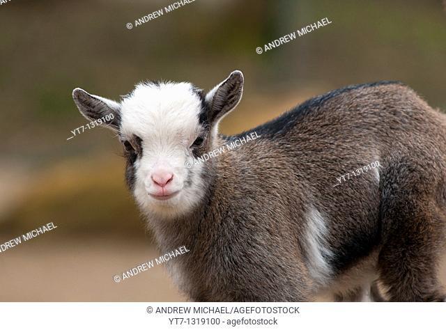 Baby goat at children's zoo