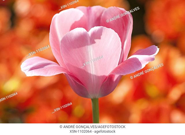 Pink Tulip in a Red Field, Netherlands