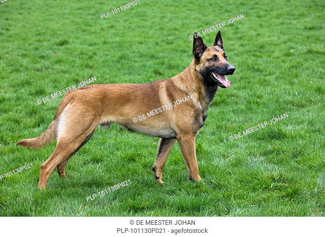 Belgian Shepherd Dog / Malinois Canis lupus familiaris in field, Belgium