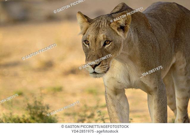 African lion (Panthera leo) - Female, Kgalagadi Transfrontier Park, Kalahari desert, South Africa/Botswana
