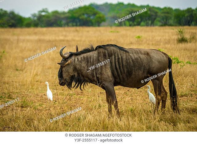 The wildebeests or gnus, are a genus of antelopes. They belong to the family Bovidae, which includes antelopes, cattle, goats