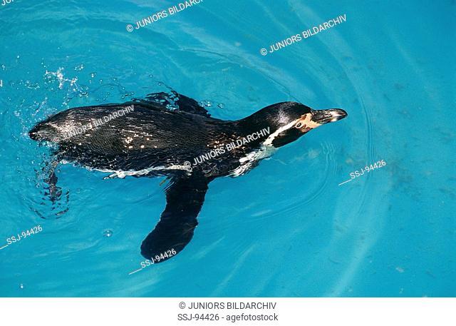 spheniscus humboldti / Humboldt penguin
