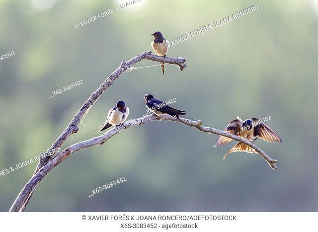 Barn swallow - Hirundo rustica -, Natural Park of Aiguamolls de l'Empordà, Girona, Spain
