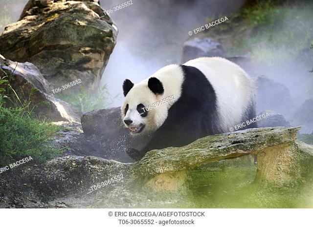 Female giant panda Huan Huan (Ailuropoda melanoleuca) out in her enclosure on a misty morning, Zooparc de Beauval, Saint Aignan sur Cher, France