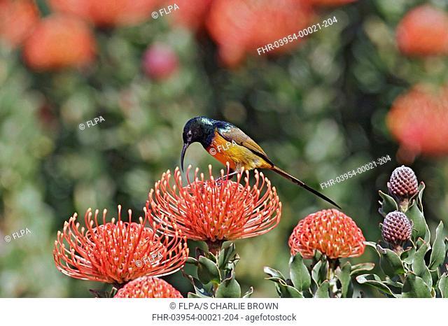 Orange-breasted Sunbird Nectarinia violacea adult male, feeding on protea flower nectar, Kirstenbosch, Cape Town, South Africa, september