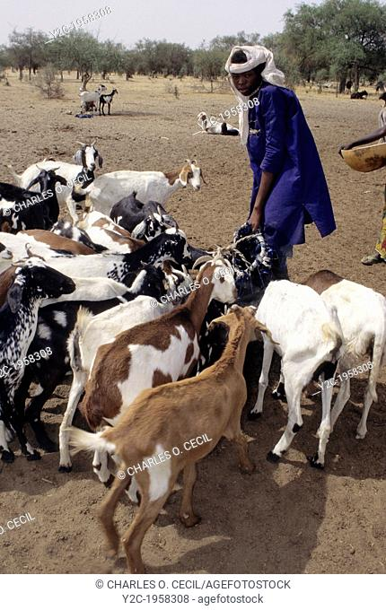 Akadaney, Niger. Fulani Boy Watering Livestock in Semi-Arid Sahel, Central Niger