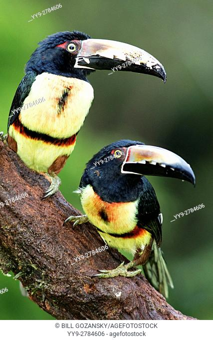 Collared Aracari - La Laguna del Lagarto Lodge - Boca Tapada, San Carlos, Costa Rica [Composite Image for enhanced DOF]