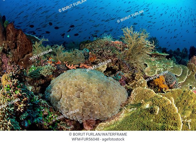 Bubble Coral in Coral Reef, Plerogyra sinuosa, Pantar, Alor Archipelago, Lesser Sunda Islands, Indonesia