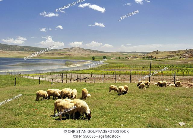 flock of sheep, Lakes scenic road north of Ifrane, Middle Atlas, Morocco, North Africa