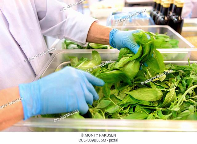 Worker sorting basil leaves for pesto sauce in pasta factory, close up
