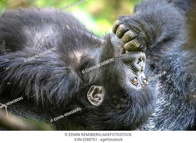 A baby Mountain Gorilla (Gorilla beringei beringei) of the Muhoza group, in Volcanoes National Park, Virunga mountain range , Rwanda