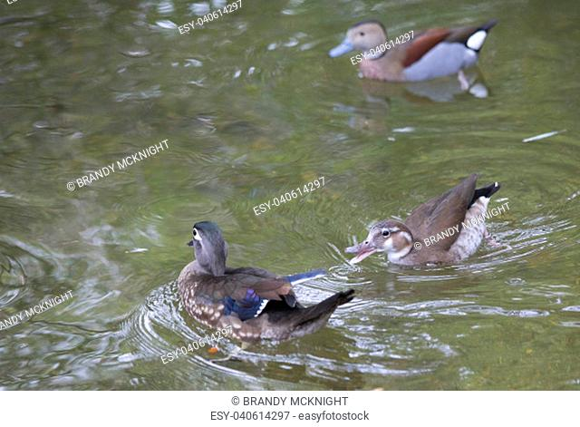 American wood duck and ringed teal ducks swimming