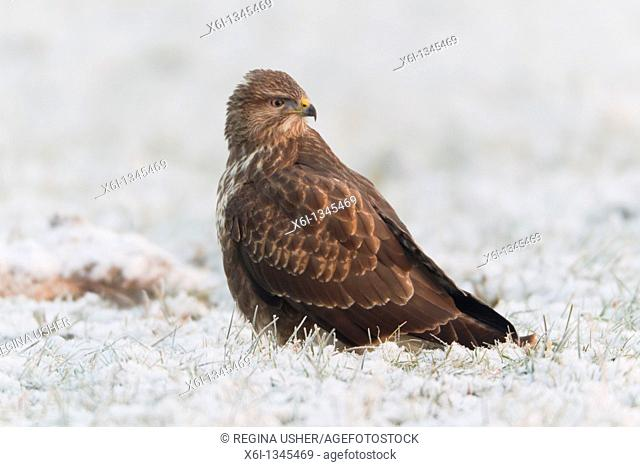 Common Buzzard Buteo buteo, on frost covered meadow, winter