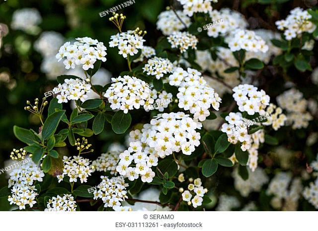 Spiraea thunbergii is a small shrub native to Japan and China
