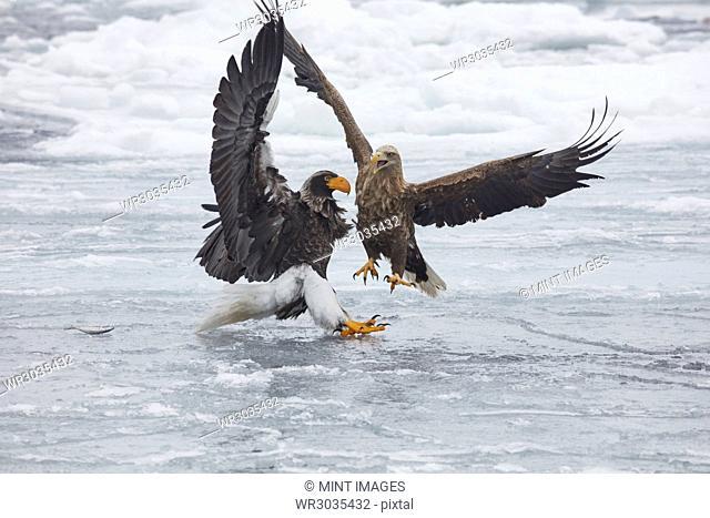 Steller's Sea Eagle, Haliaeetus pelagicus, and White-Tailed Eagle, Haliaeetus albicilla, fighting on frozen bay in winter