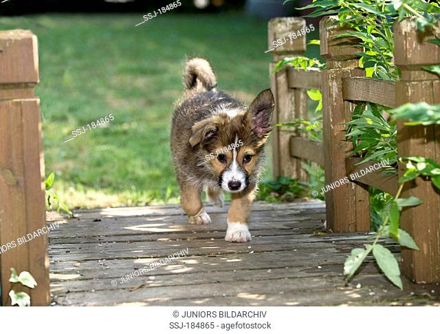 Mixed-breed dog. Puppy (8 weeks old) walking over a wooden bridge over a garden pond