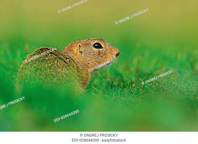 European Ground Squirrel, Spermophilus citellus