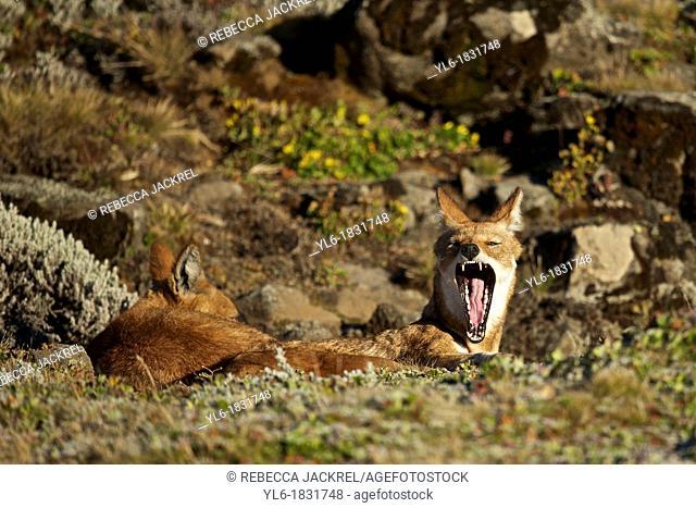 Ethiopian wolf yawning