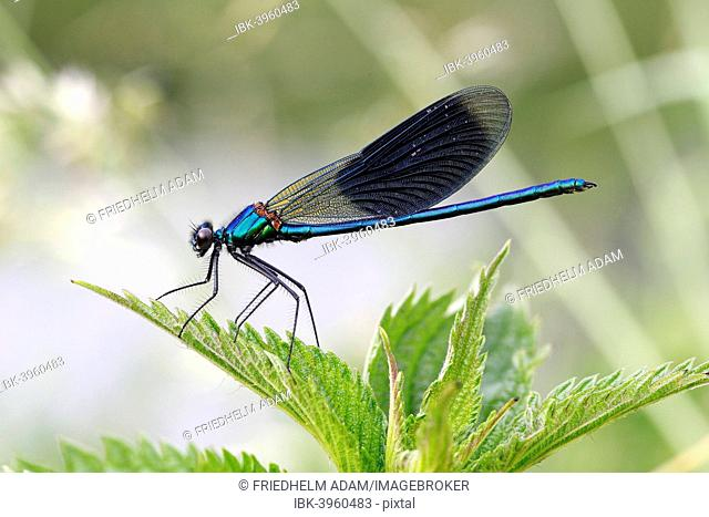 Banded Demoiselle or Banded Agrion (Calopteryx splendens), male on a leaf, Hühnermoor nature reserve, North Rhine-Westphalia, Germany