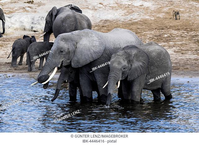 African bush elephants (Loxodonta africana), herd drinking in Chobe River, Chobe National Park, Botswana