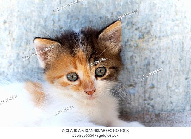 Portrait of a calico kitten