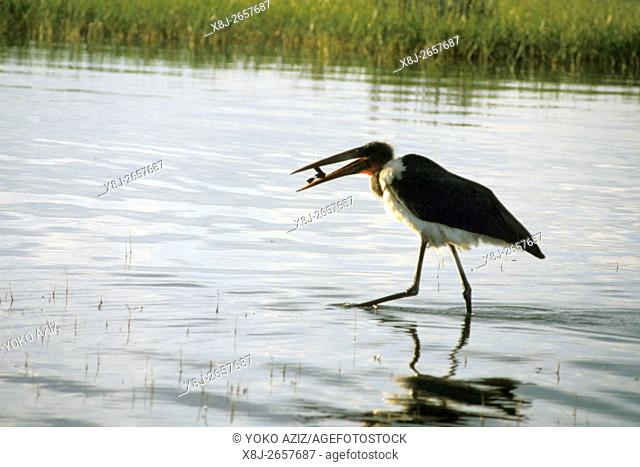 ethiopia, tana lake, bird