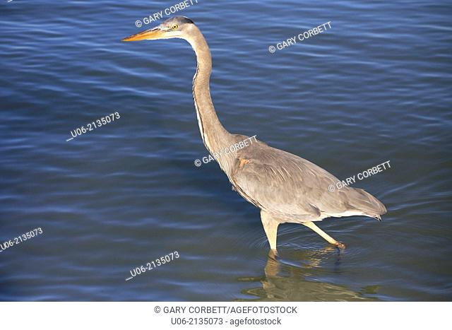a great blue heron bird wading in the water.The Great Blue Heron (Ardea herodias) is a large wading bird in the heron family Ardeidae