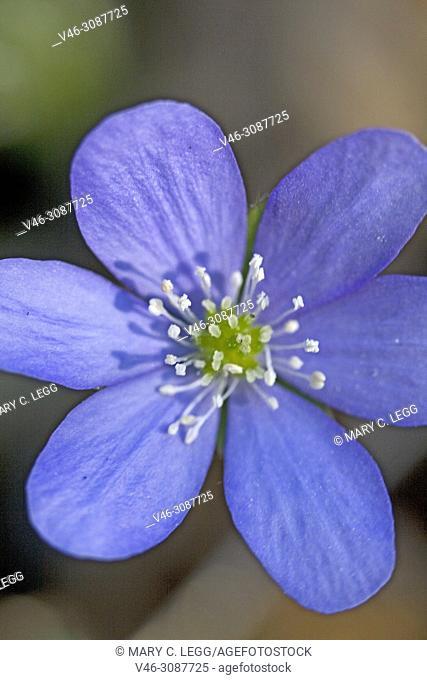 Liverleaf, Hepatica nobilis, a perennial flower having trilobed leaf. The flower can be pink, cobalt, light blue, white or lilac