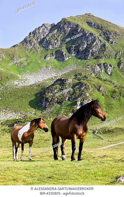 Noriker and Pinto, brown, on pasture, Sintersbach Hochalm pasture, Kitzbühel Alps, Tyrol, Austria