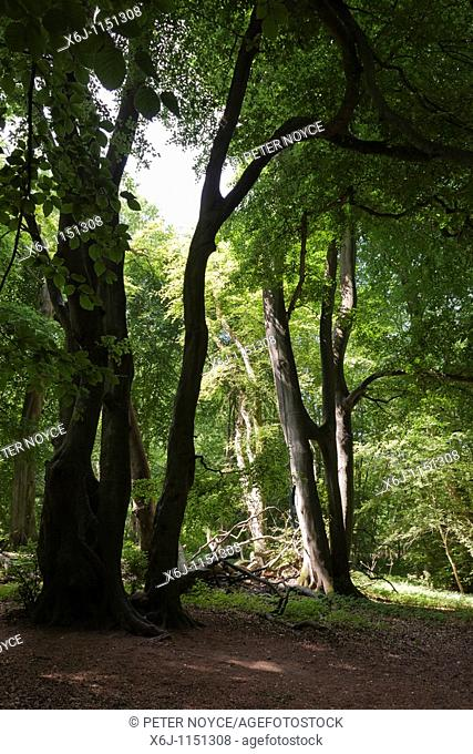 Tall beech trees sunlight and shade in Selborne Hanger woods