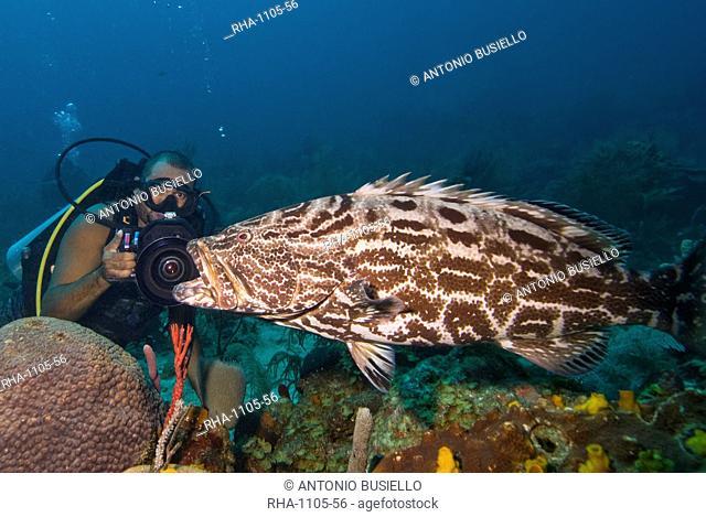 Diver filming black grouper Mycteroperca bonaci, Roatan, Bay Islands, Honduras, Caribbean, Central America