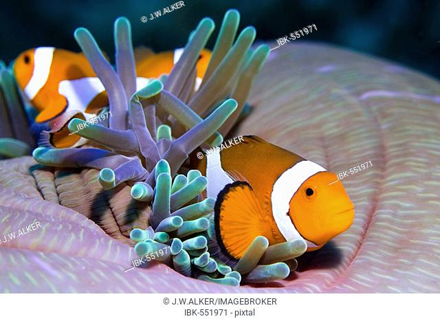 False anemonefish or Clownfish Amphiprion ocellaris