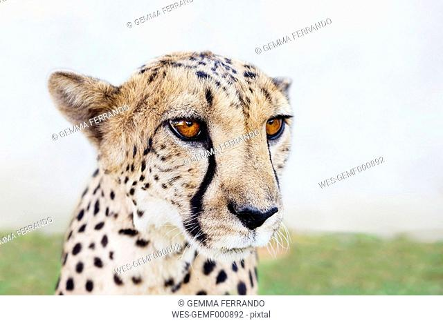 Namibia, Kamanjab, portrait of tame cheetah