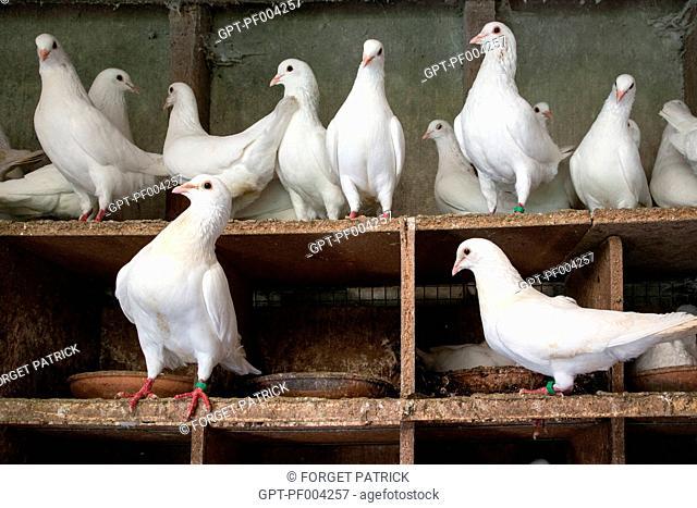 WHITE PIGEON FARM NEAR MARANS, (85) VENDEE, FRANCE