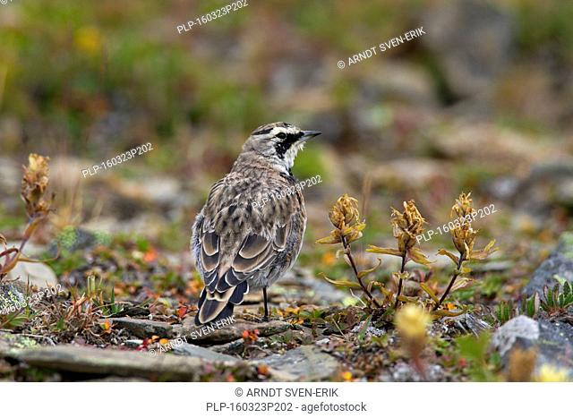 Horned lark (Eremophila alpestris) female on the ground in summer, Jasper National Park, Alberta, Canada