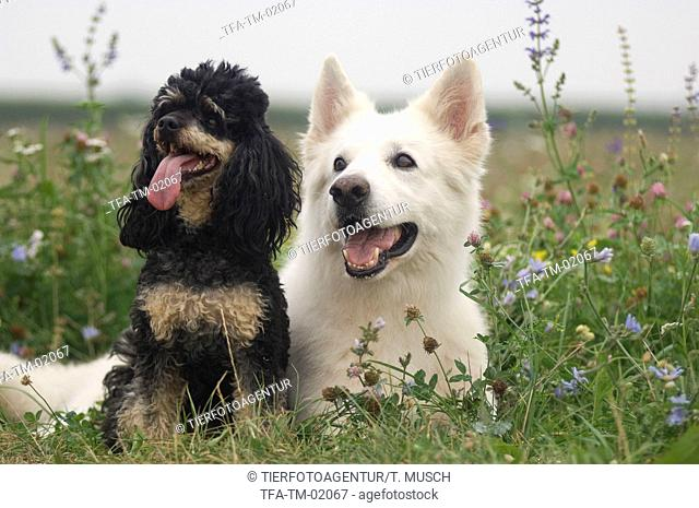 White Swiss Shepherd and Miniature Poodle