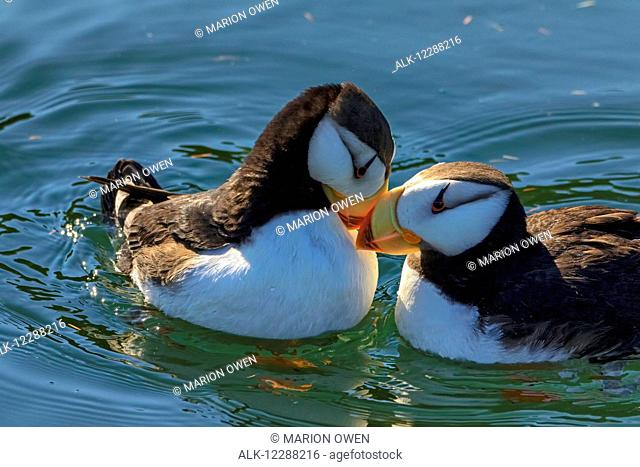 Close up of a pair of Horned Puffins being affectionate, Kodiak, Southwest Alaska