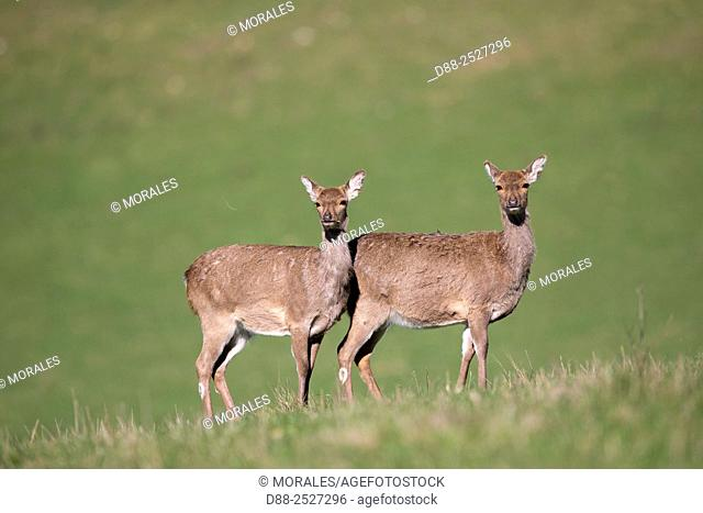 France, Haute Saone, Private park, Sika Deer Cervus nippon, group of females
