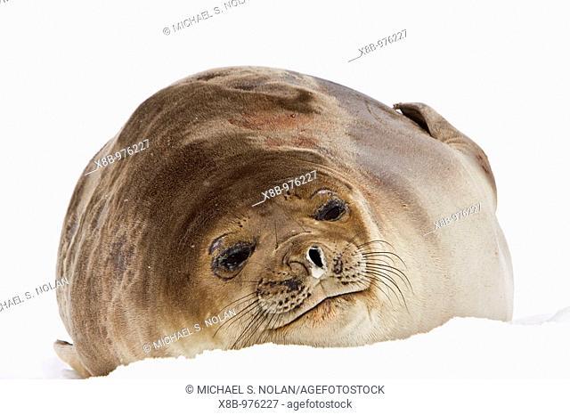 Young southern elephant seal Mirounga leonina on the beach at Petermann Island, Antarctica  The Southern Elephant Seal is one of two species of elephant seal...